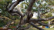 700-year-old banyan tree gets saline drip for survival (Video)
