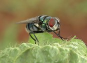 Study finds tiny fly blows bubbles to cool off (Video)