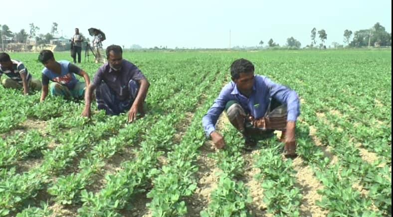Peanut farming gets momentum in Brahmanbaria