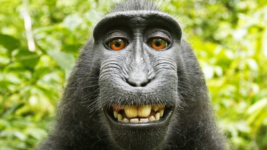 Monkey cannot own copyright on grinning selfie, US court rules
