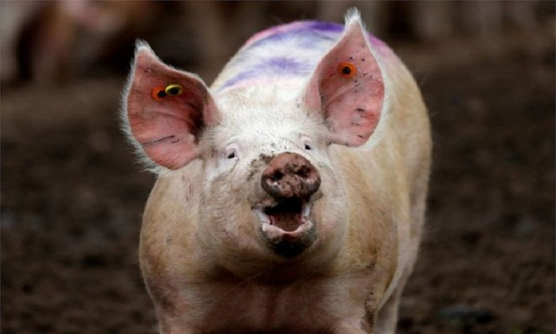 Ethics debate as pig brains kept alive without a body