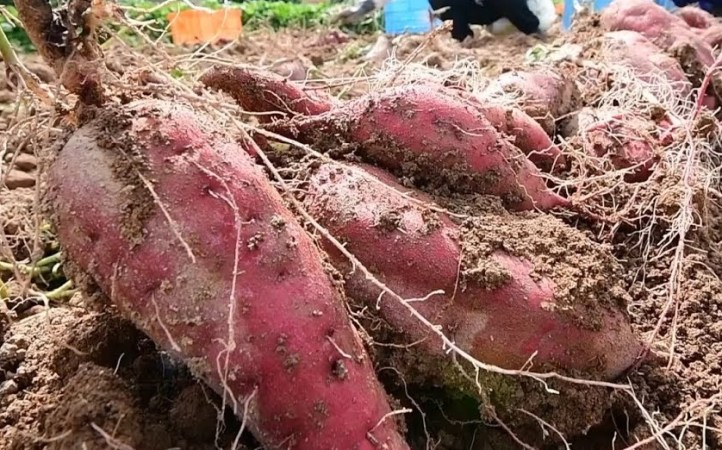 Rangpur region produces 46,954 tonnes sweet potato