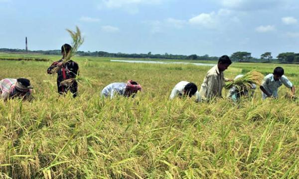 Boro harvest begins in Narsingdi