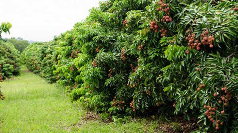 Bumper litchi production likely in Rangpur