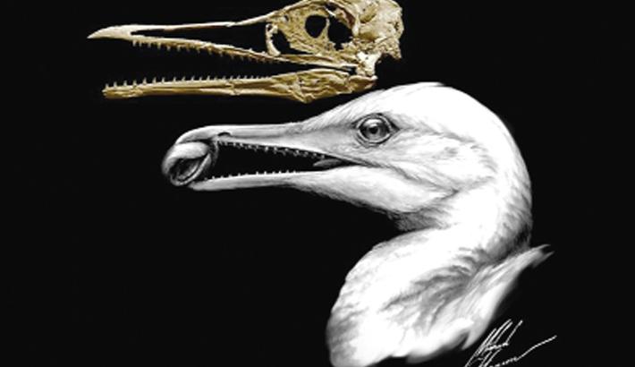 Early bird had teeth: Study
