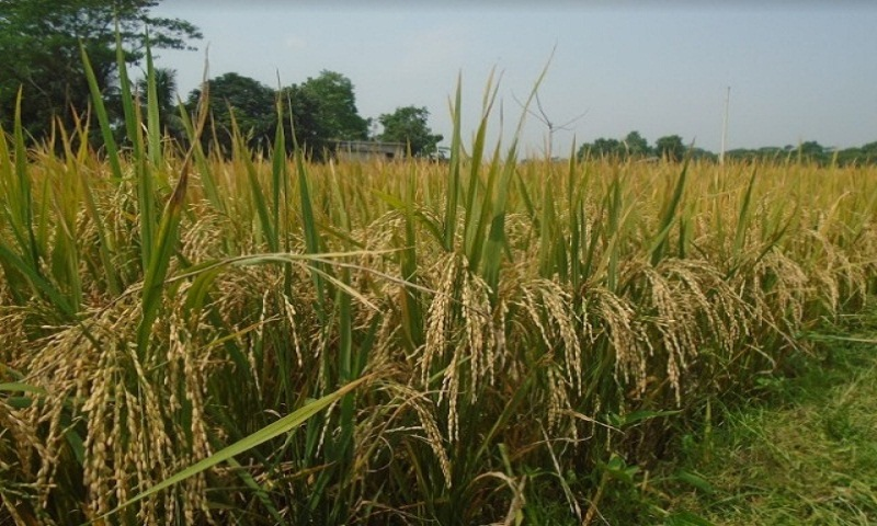 Salinity-tolerant rice sees bumper yield in Gopalganj