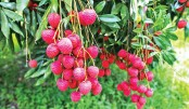 Litchi starts arriving in Rajshahi markets