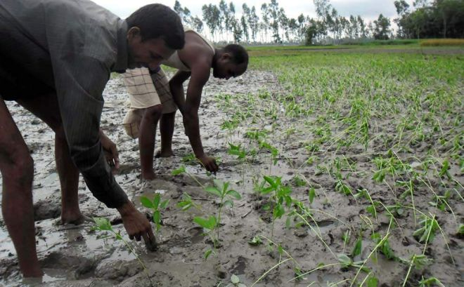 Jute seed sowing near completion in Rangpur region