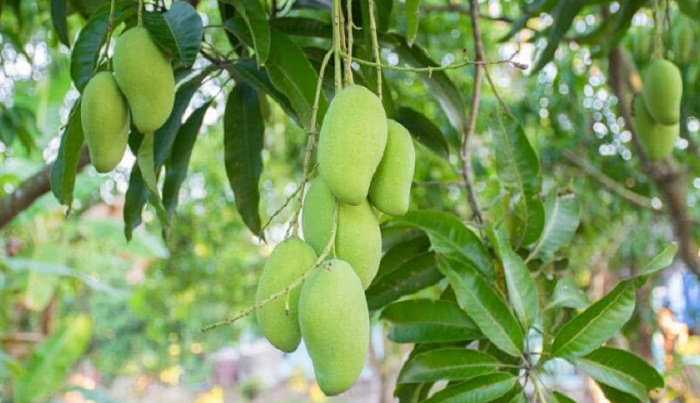 3,000 tonnes mango produced under contract farming