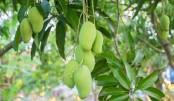 3,000 tonnes mango produced under contract farming