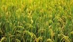 Gaibandha farmers busy harvesting Boro paddy