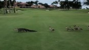 Brave geese honk at and chase after alligator at golf course (Video)