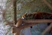 'Kung Fu' red pandas settle into new Laos sanctuary