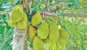 Bumper jackfruit production likely  in Panchagarh