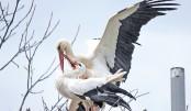Stork travels 14,000 km for handicapped mate