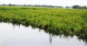Boro on 12,000 hectares goes under water in Sirajganj