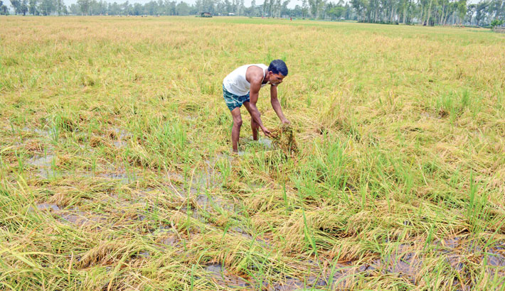 Growers cannot harvest paddy due to water-logging