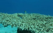 Only 1 pct of Japan's biggest coral reef healthy: survey