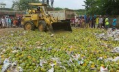 1100 maunds of chemically-ripened mangoes destroyed
