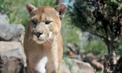Cougar shot dead after killing US cyclist and mauling another