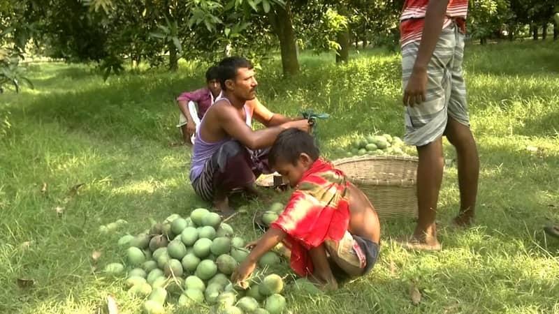 Mango plucking begins in Rajshahi
