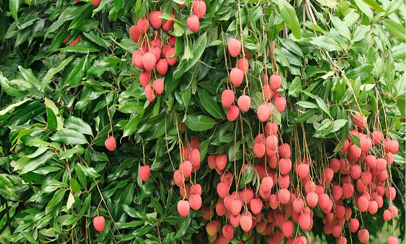 Bumper litchi yield delights Faridpur growers