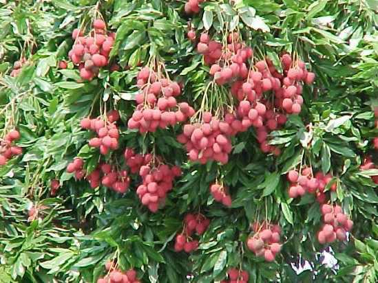 Litchi business reaching peak in Rangpur region