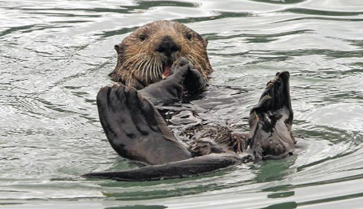 Sea otter comeback is eating into profits in Alaska