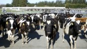 New Zealand to kill 150,000 cows to end bacterial disease