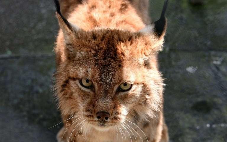 Folkloric and a national symbol: saving the Balkan Lynx