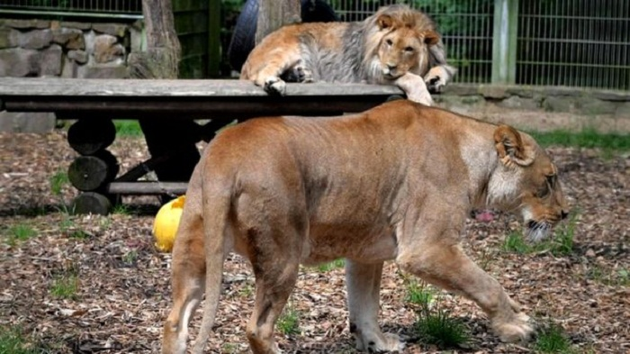 German zoo escaped lions, tigers and jaguar recaptured