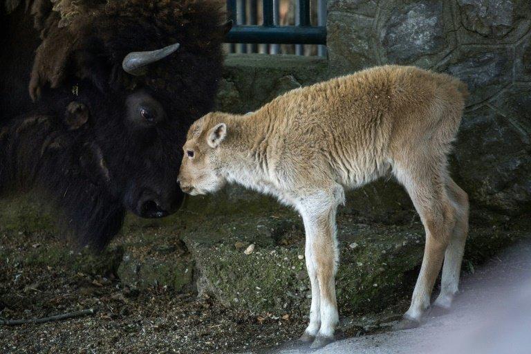 White bison, one of world's rarest animals, born at Belgrade zoo