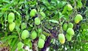 Mango trading gains momentum in Rajshahi, C'nawabganj