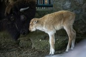 White bison, one of world's rarest animals, born at Belgrade zoo