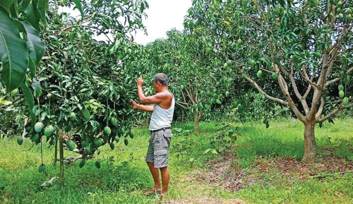 Bumper Amrapali mango yield brings smile to growers in Khagrachhari