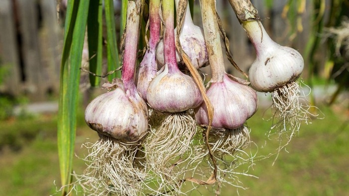 Thai military called in to halt garlic smuggling