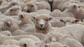 German train kills 45 sheep after crashing into flock