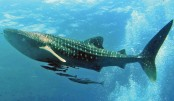 Effective Protection of Whale Shark  in the Swatch of No Ground