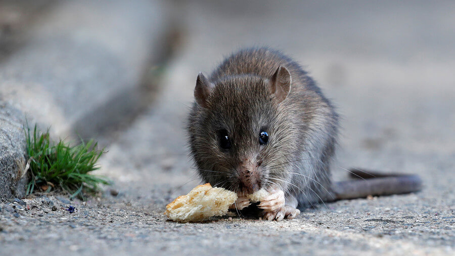Spot a rat: Real-time map aims to plot Paris rodent sightings