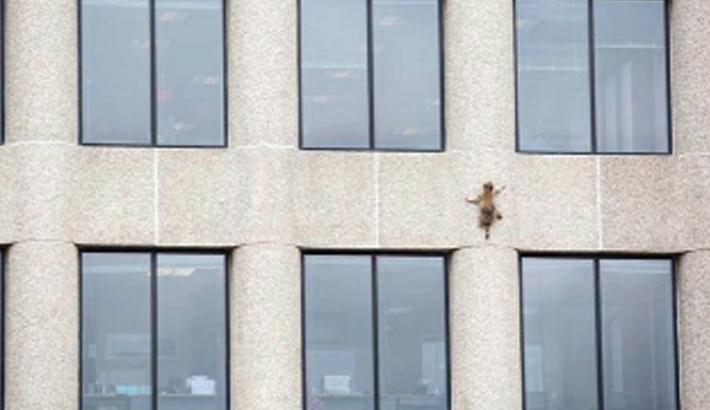Raccoon dubbed hero  after skyscraper climb