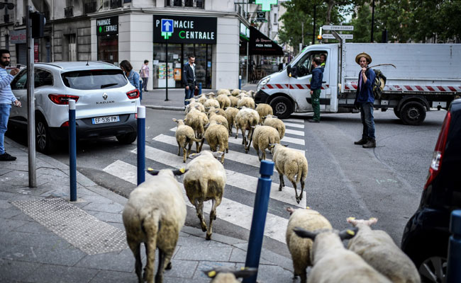 Out on the town: Sheep graze streets of Paris suburb
