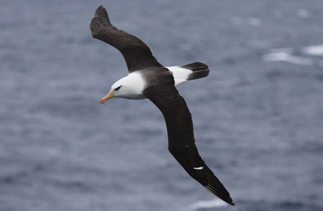 Rise in sea temperature affects survival of black-browed albatross
