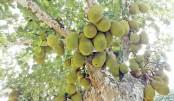 Bumper jackfruit output expected in Kapasia