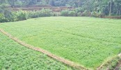 Peanut cultivation gets popular in Nilphamari