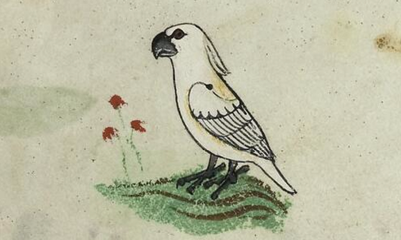Cockatoo identified in 13th Century European book