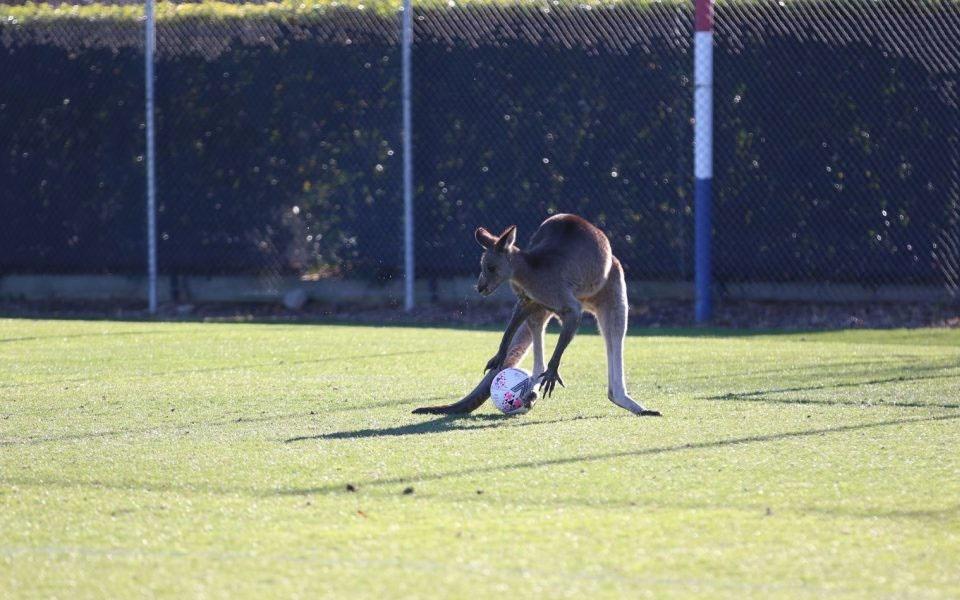 Kangaroo enters football pitch, disrupts match (Video)