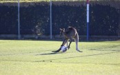 Kangaroo enters football pitch, disrupts match (Video)