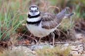 Bird's nest almost upends major Canada music festival