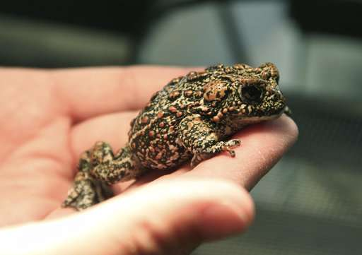 Endangered species listing considered for rare Nevada toad