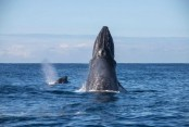 Humpbacks and southern right whales out in force off the WA coast